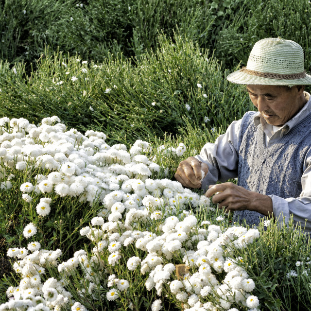 """""""Asian man harvesting white Chrysanthemums in the field, Anhui province,..."""" stock image"""