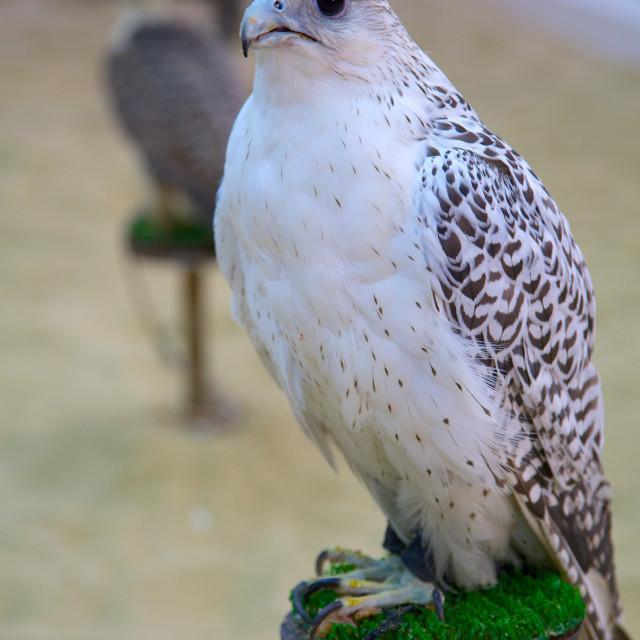 """Falcon, Falcon Souq, Waqif Souq, Doha, Qatar, Middle East"" stock image"