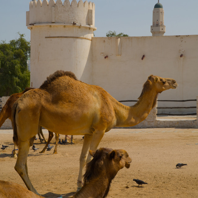 """""""Camels in Camel Souq, Waqif Souq, Doha, Qatar, Middle East"""" stock image"""