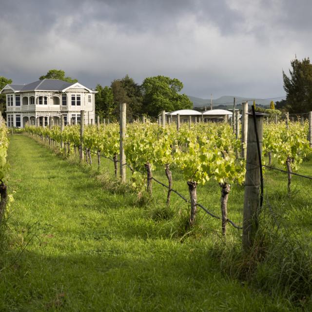 """Vineyards of the Cambridge Road Winery, Martinborough, Wellington region,..."" stock image"