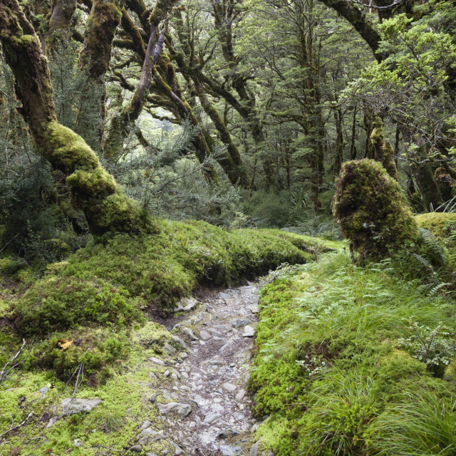 """Moss covered forest above Lake Mackenzie, Routeburn Track, Fiordland National..."" stock image"