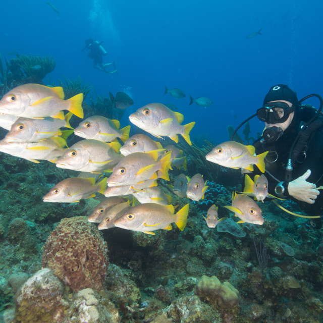 """Diver watching schooling snapper fish in Turks & Caicos Islands"" stock image"