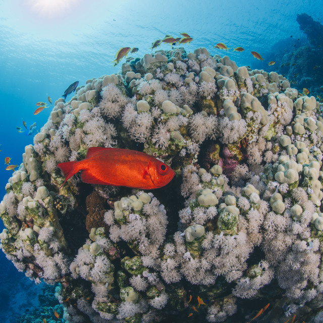 """Common bigeye (Priacanthus hamrur), sheltering next to coral reef, Ras..."" stock image"