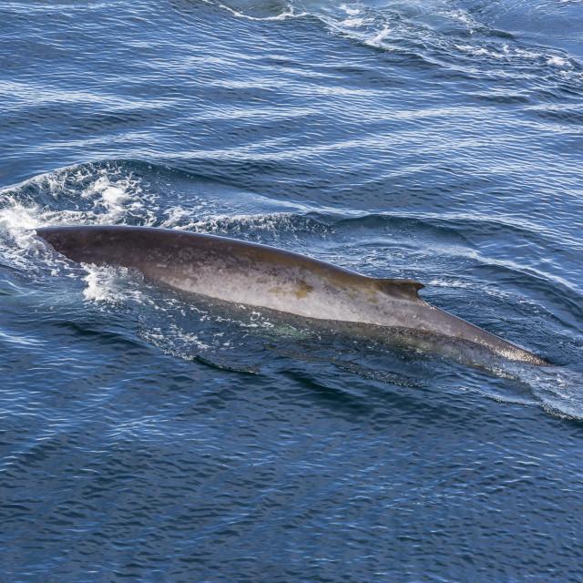 """Adult fin whale (Balaenoptera physalus) surfacing near Hornsund, Spitsbergen,..."" stock image"