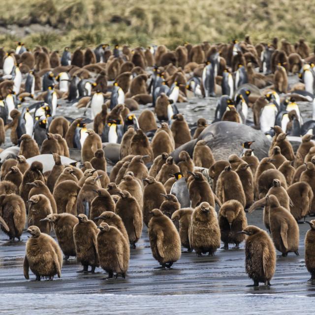 """Adult king penguins and okum boy chicks (Aptenodytes patagonicus) heading to..."" stock image"