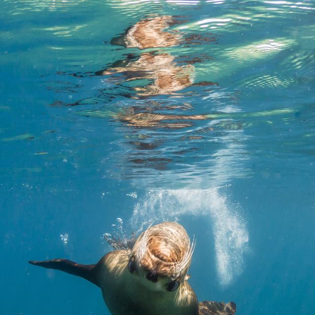 """Adult California sea lion, Zalophus californianus, underwater at Los Islotes,..."" stock image"