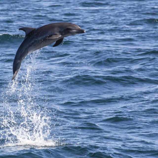 """Bottlenose dolphin, Tursiops truncatus, leaping into the air near Isla San..."" stock image"