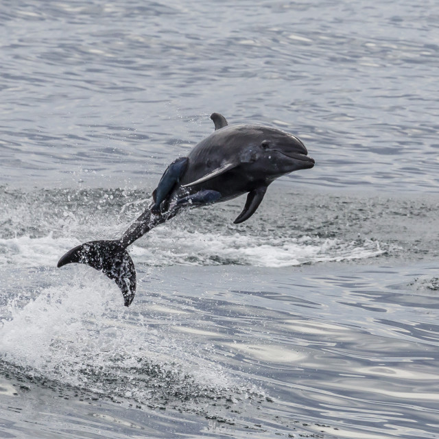 """""""Adult bottlenose dolphin, Tursiops truncatus, leaping into the air near Santa..."""" stock image"""