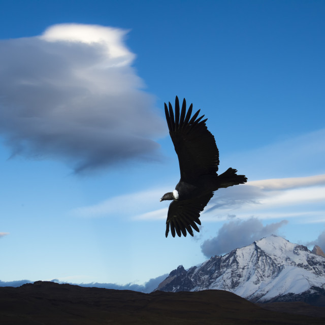 """Andean Condor (Vultur gryphus) flying over Torres del Paine National Park,..."" stock image"