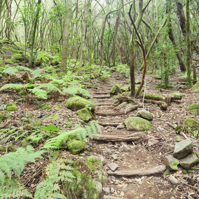 """""""Laurel forest, laurisilva, Parque Nacional de Garajonay, La Gomera, Canary..."""" stock image"""
