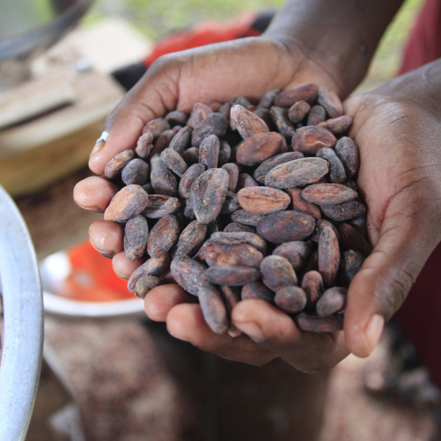 """Cacao (cocoa) beans freshly harvested and ready for making into chocolate,..."" stock image"