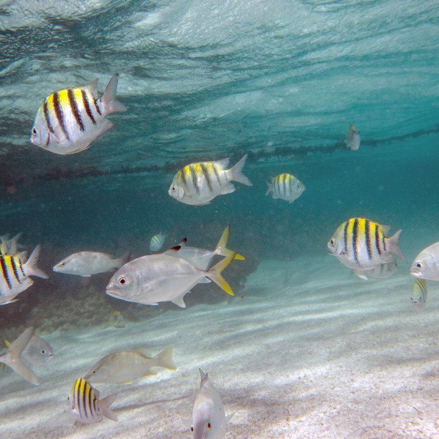 """Multicolored fish swim peacefully at Stingray City, a sanctuary where it is..."" stock image"