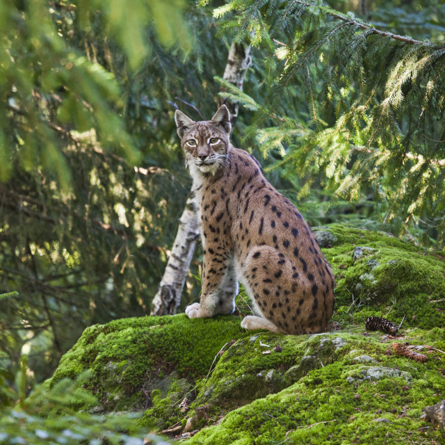 """""""A lynx in the Bavarian National Park, Bavaria, Germany, Europe"""" stock image"""