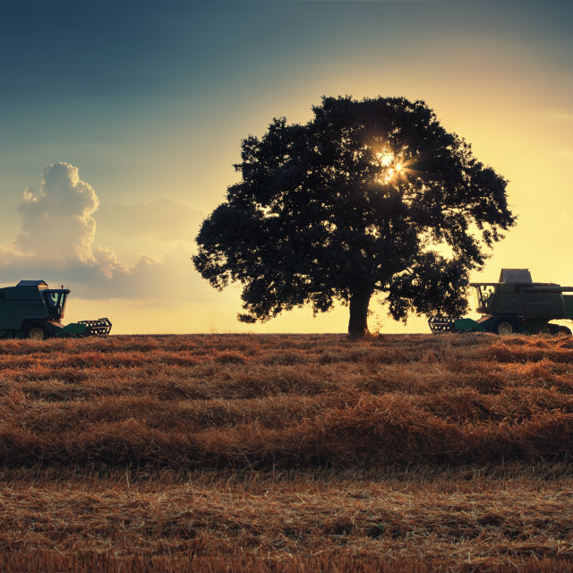 """Combine harvester machine working in a wheat field at sunset. Lo"" stock image"