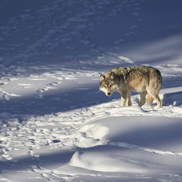 """Gray wolf (Canis lupus) 870F of the Junction Butte Pack in the winter,..."" stock image"