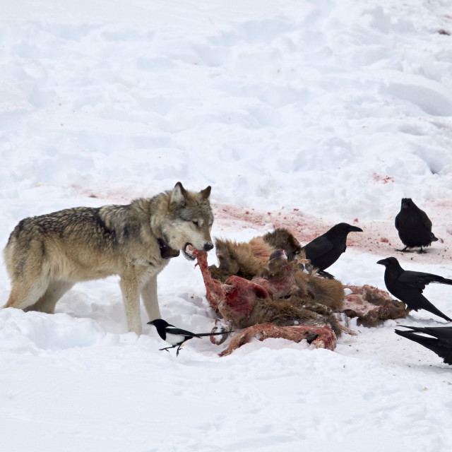 """Gray wolf (Canis lupus) 870F of the Junction Butte Pack at an elk carcass in..."" stock image"