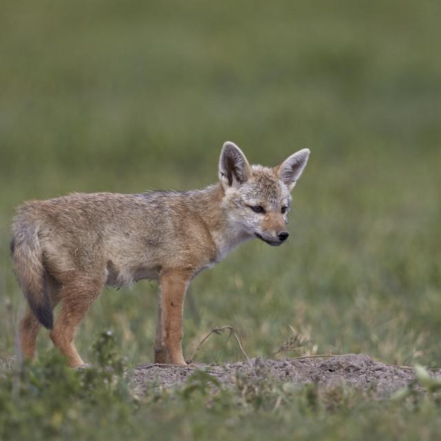 """Serengeti jackal (golden jackal) (Canis aureus bea) pup, Ngorongoro Crater,..."" stock image"
