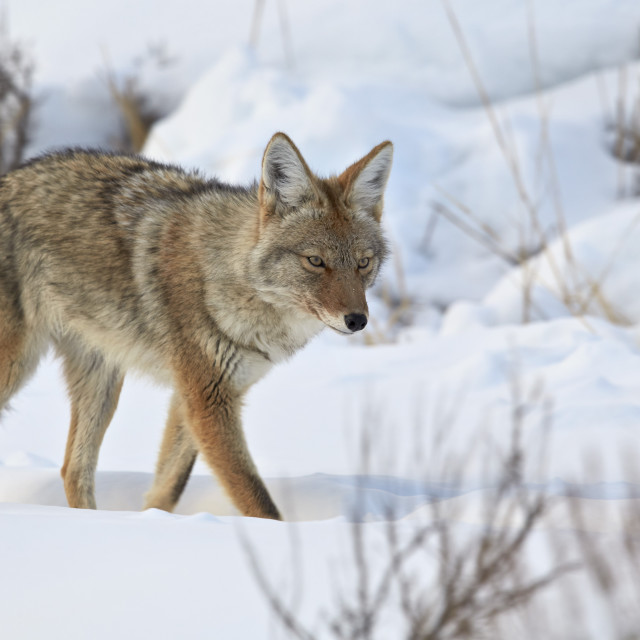 """""""Coyote (Canis latrans) in the snow in winter, Yellowstone National Park,..."""" stock image"""