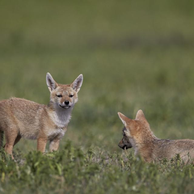 """Serengeti jackal (golden jackal) (Canis aureus bea) pups, Ngorongoro Crater,..."" stock image"