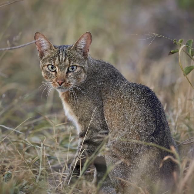 """""""African Wild Cat (Felis silvestris lybica), Kruger National Park, South Africa"""" stock image"""