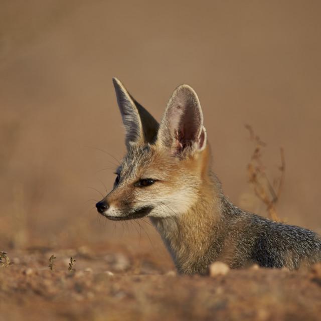 """""""Cape Fox, Cama Fox or Silver-Backed Fox (Vulpes chama), Kgalagadi..."""" stock image"""