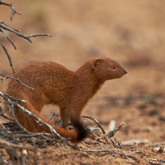 """Slender Mongoose (Galerella sanguinea), Kgalagadi Transfrontier Park..."" stock image"