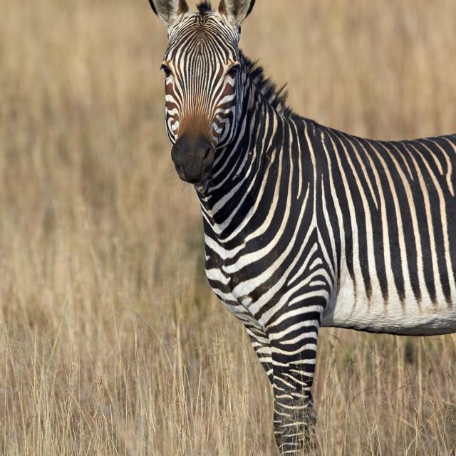 """Cape Mountain Zebra (Equus zebra zebra), Mountain Zebra National Park, South..."" stock image"