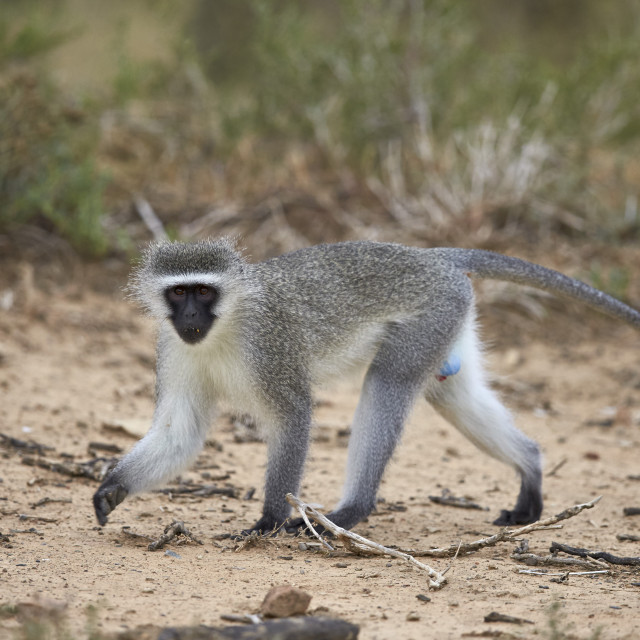 """Vervet Monkey (Chlorocebus aethiops), Mountain Zebra National Park, South Africa"" stock image"