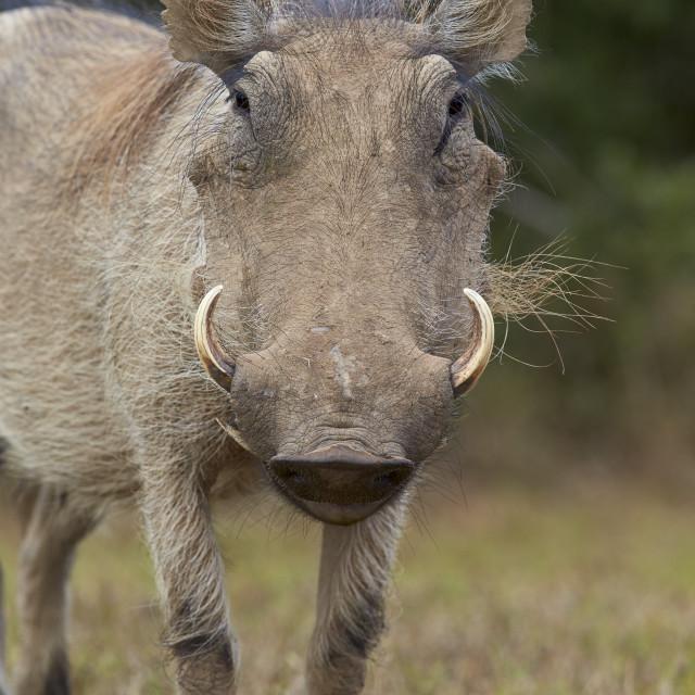 """Warthog (Phacochoerus aethiopicus), Addo Elephant National Park, South Africa"" stock image"