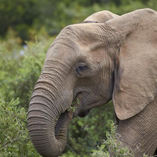 """""""African Elephant (Loxodonta africana) eating, Addo Elephant National Park,..."""" stock image"""