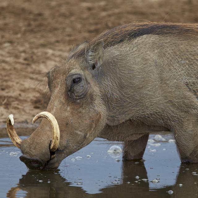 """""""Warthog (Phacochoerus aethiopicus) drinking, Addo Elephant National Park,..."""" stock image"""