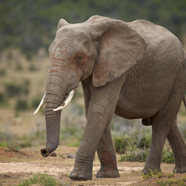"""""""African Elephant (Loxodonta africana), Addo Elephant National Park, South Africa"""" stock image"""