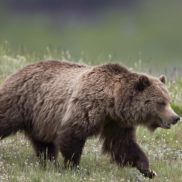 """Grizzly Bear (Ursus arctos horribilis), Yellowstone National Park, Wyoming, USA"" stock image"