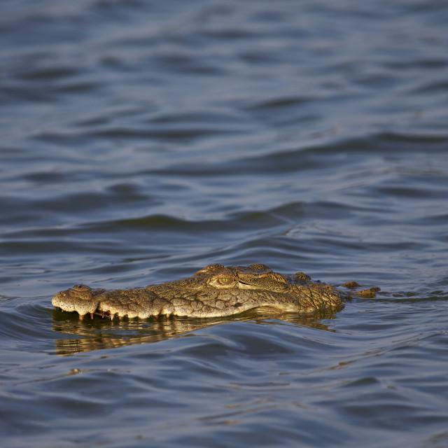 """Nile Crocodile (Crocodylus niloticus) swimming, Kruger National Park, South..."" stock image"