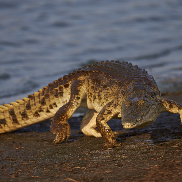 """""""Nile Crocodile (Crocodylus niloticus) exiting the water, Kruger National..."""" stock image"""