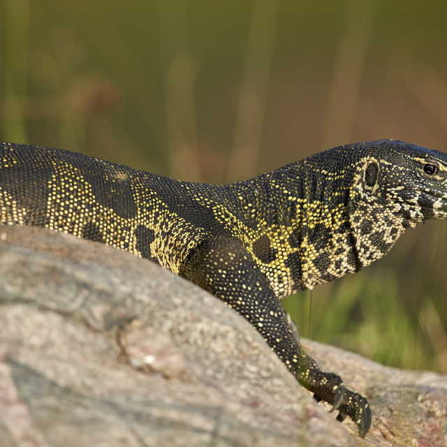 """Water Monitor (Varanus niloticus), Kruger National Park, South Africa"" stock image"
