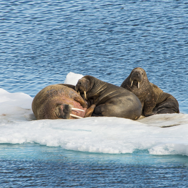 """Three walrus (Odobenus rosmarus) on an ice shelf, Arctic shelf, Svalbard,..."" stock image"