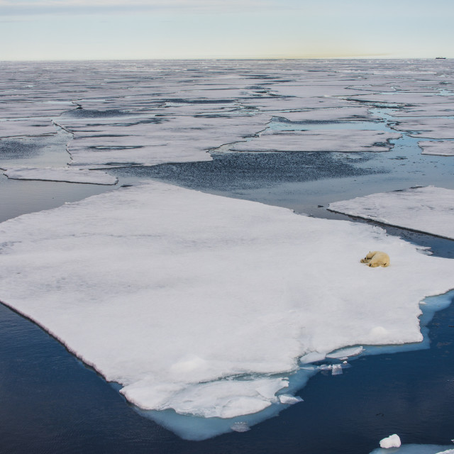 """Polar bear (Ursus maritimus) on an ice floe in the Arctic shelf, Svalbard,..."" stock image"