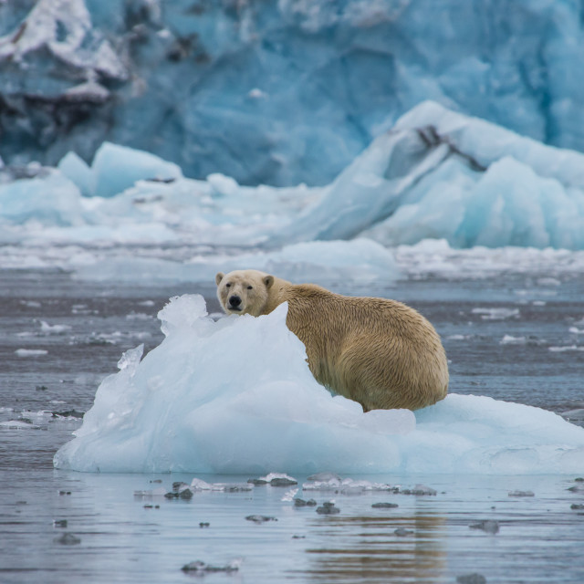 """Polar bear (Ursus maritimus) sitting on a piece of ice in front of a glacier,..."" stock image"