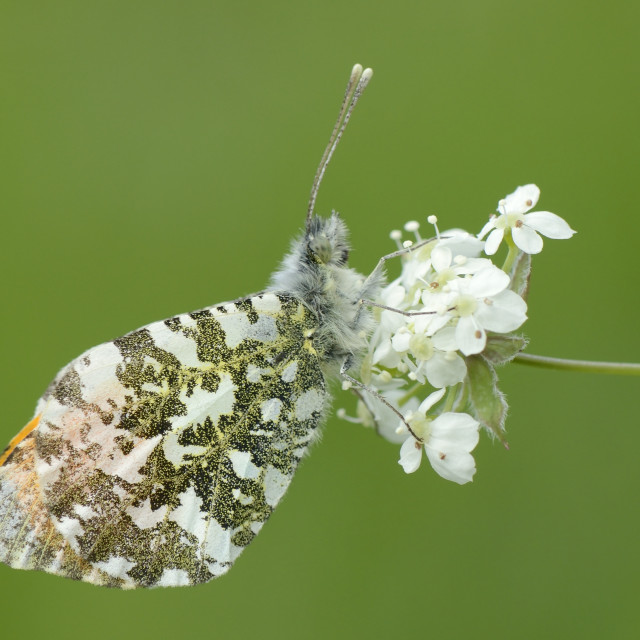 """""""Orange tip butterfly (Anthocharis cardamines) resting on common valerian..."""" stock image"""