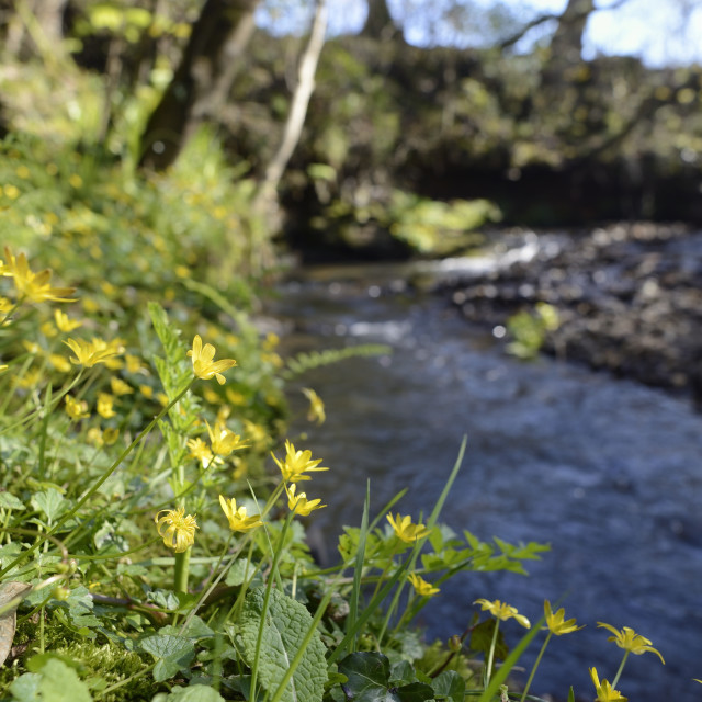 """Lesser celandines (Ranunculus ficaria) flowering on a stream bank in..."" stock image"