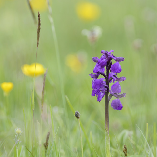 """""""Green-winged orchid (Orchis) (Anacamptis morio) flowering in a hay meadow..."""" stock image"""