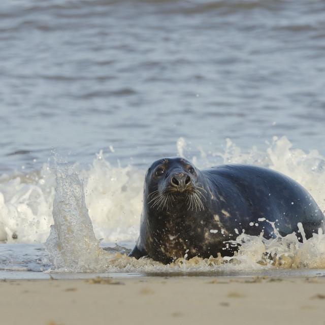 """Grey seal (Halichoerus grypus) adult hauling ashore among breaking waves,..."" stock image"
