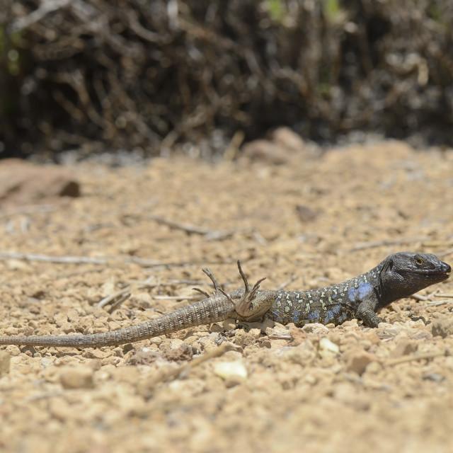 """Male Tenerife lizard (Western Canaries lizard) (Gallotia galloti) raising its..."" stock image"