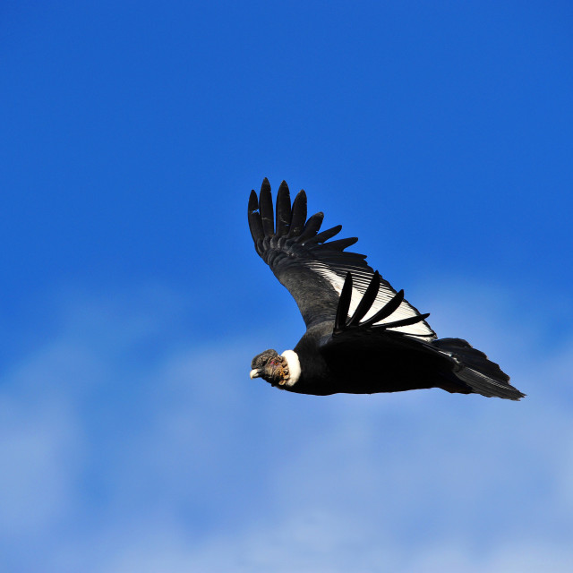 """Andean Condor, Vultur Griphus, adult male, Patagonia, Argentina, South America"" stock image"