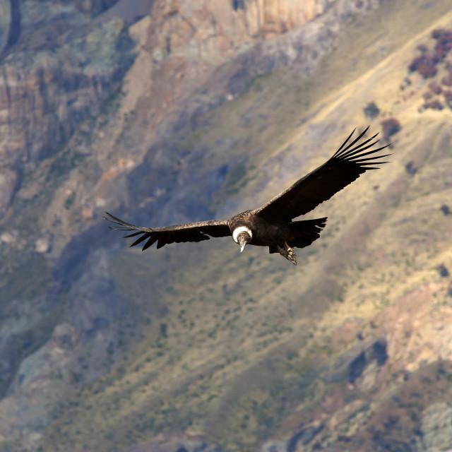 """Andean Condor, Vultur Gryphus, juvenile female, Santa Cruz, Patagonia,..."" stock image"