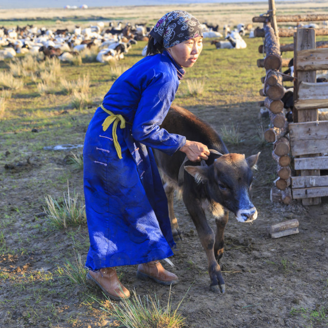 """Lady wearing headscarf and blue deel handles calf, distant gers, Dawn,..."" stock image"