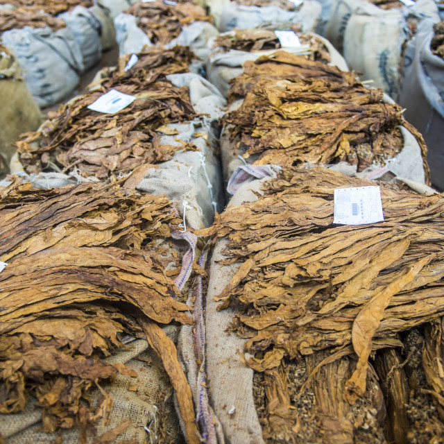 """Piles of dry tobacco, Tobacco auction in Lilongwe, Malawi, Africa"" stock image"