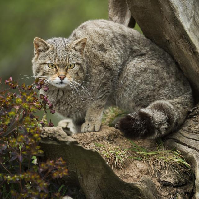 """Scottish wildcat (wildcat) (Felis silvestris), Devon, England, United..."" stock image"