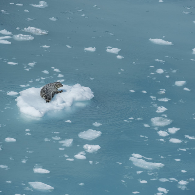 """Harbour Seal on ice flow"" stock image"